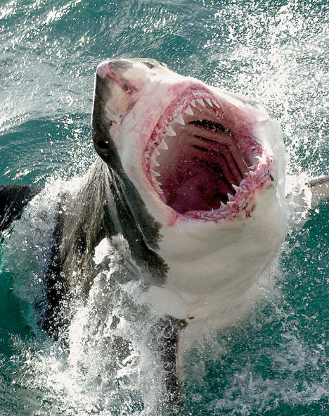 Great-White-Shark-1 | Mealtime Hostage